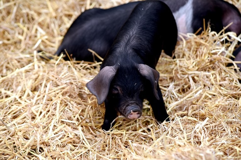 Name the Pigs to be in with a chance of winning tickets to the Suffolk Show