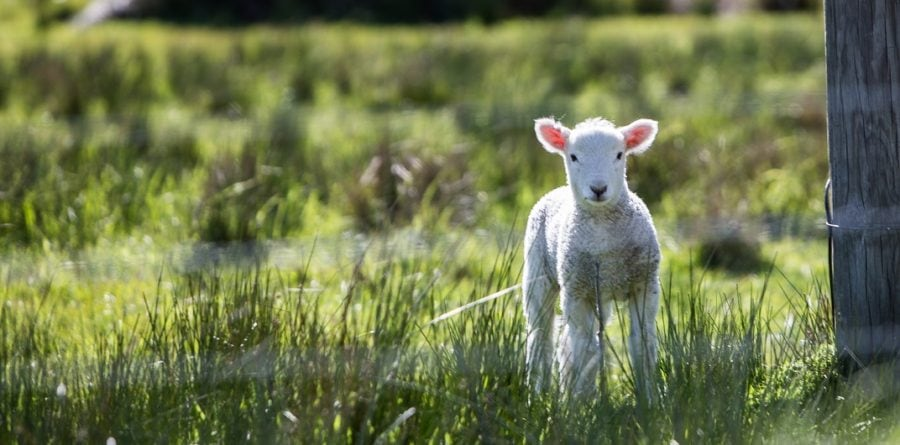CLA issues advice to dog owners during lambing season